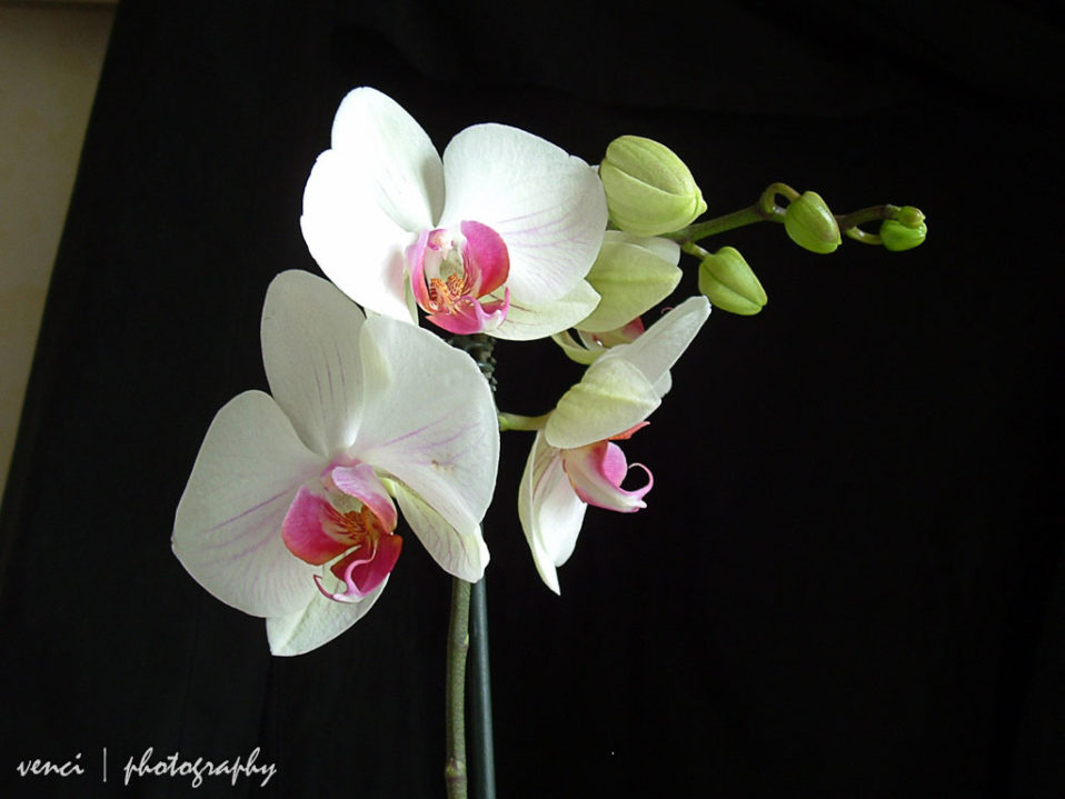 Orchids on a dark background