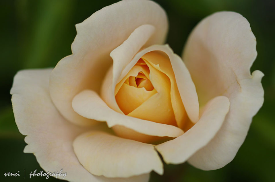 close up, white rose in our garden
